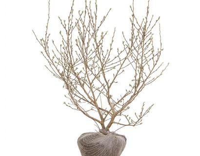 Magnolia stellata pot 100/125 cm - stermagnolia