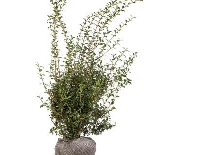 Osmanthus burkwoodii 100/125 cm extra - schijnhulst