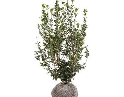 Osmanthus heterophyllus 100/125 cm - schijnhulst