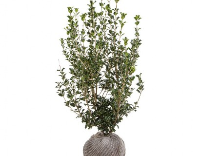 Osmanthus heterophyllus kluit 100/125