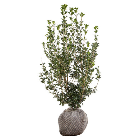 Osmanthus heterophyllus 100/125 cm