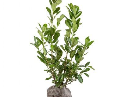 Prunus laurocerasus 'Rotundifolia' kluit 100/125 cm - gewone laurier, paplaurier