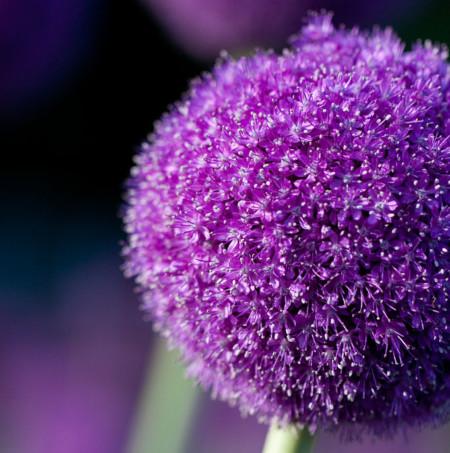 Allium giganteum (grote pot) - sierui