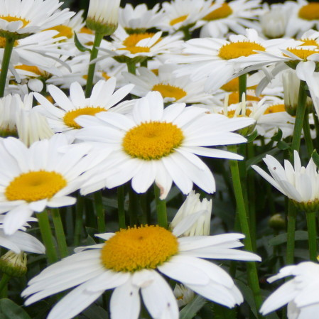 Chrysanthemum 'Snow lady' (grote pot) - margriet