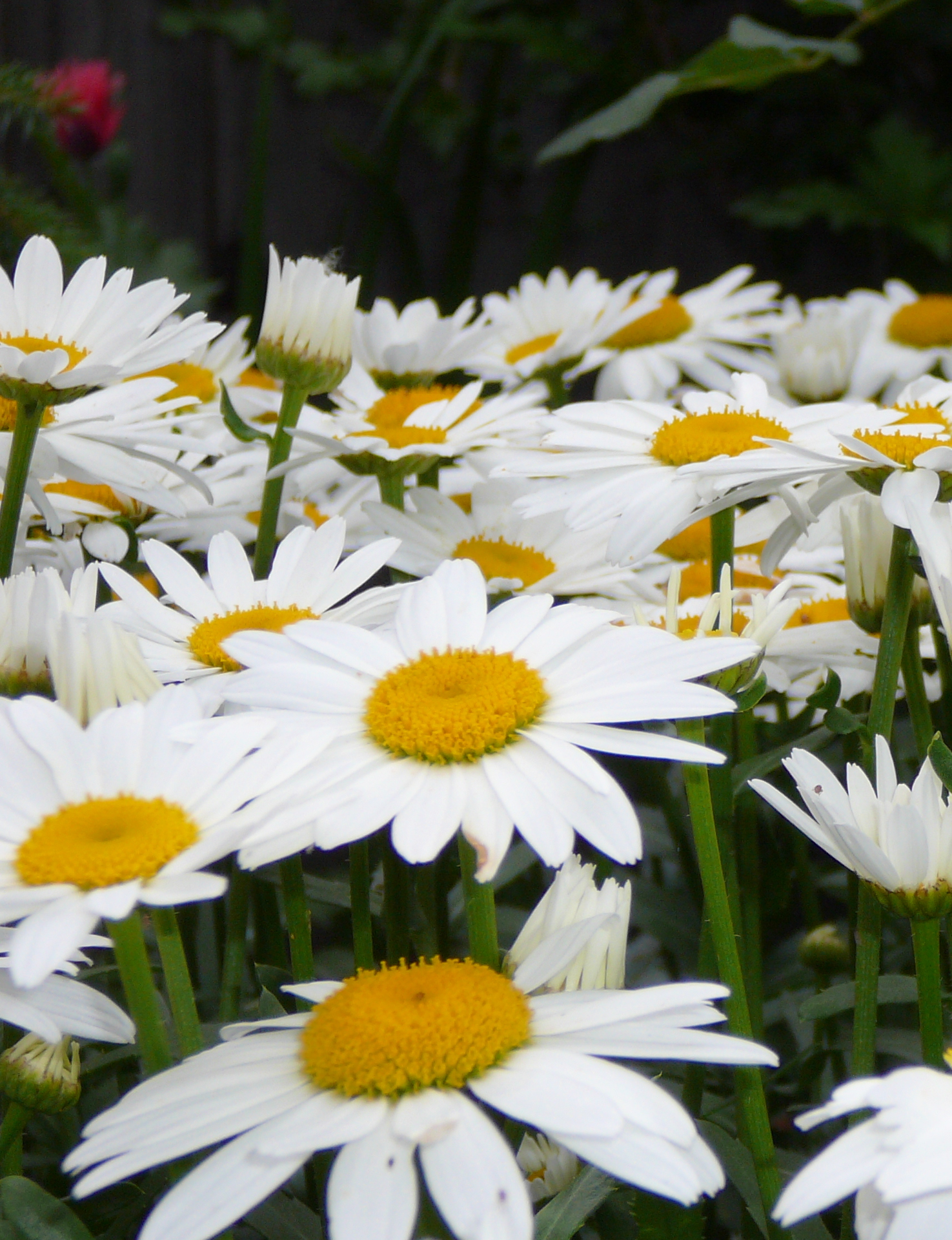 Chrysanthemum 'Snow Lady'