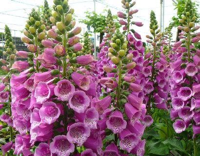 Digitalis purpurea 'Purple' pot 3 liter - vingerhoedskruid
