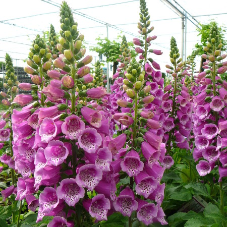 Digitalis purpurea 'Purple' (grote pot) - vingerhoedskruid
