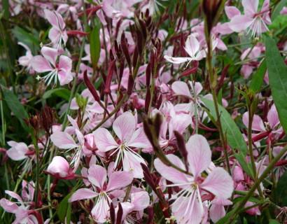 Gaura lindheimeri 'Siskiou Pink' (grote pot)