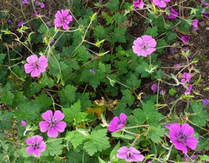 Geranium 'Pink Penny' (grote pot) - ooievaarsbek
