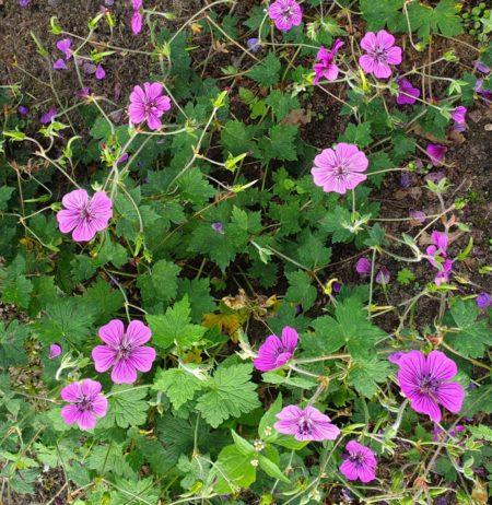 Geranium 'Pink Penny' pot 3 liter