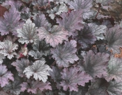Heuchera 'Frosted Violet' pot 2 liter - puperklokje