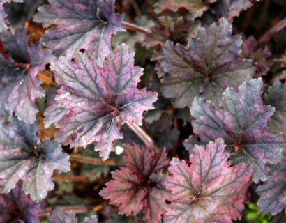 Heuchera 'Frosted Violet' (grote pot) - purperklokje