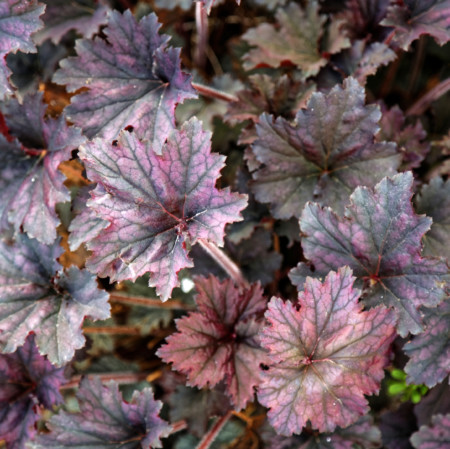 Heuchera 'Frosted Violet' (grote pot) - puperklokje