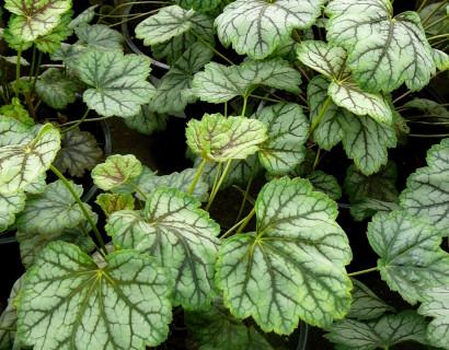 Heuchera 'Green spice' (grote pot) - purperklokje