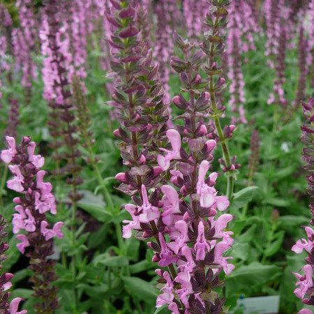 Salvia nemorosa 'Deep Rose' (grote pot) - salie