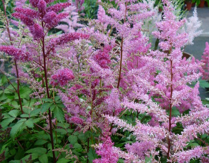Astilbe chinensis 'Showstar' (grote pot)