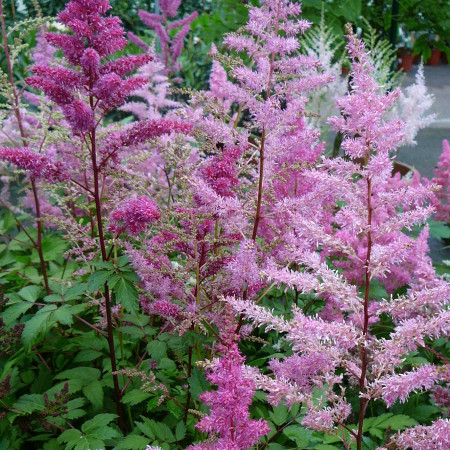 Astilbe chinensis 'Showstar' (grote pot) - pluimspirea
