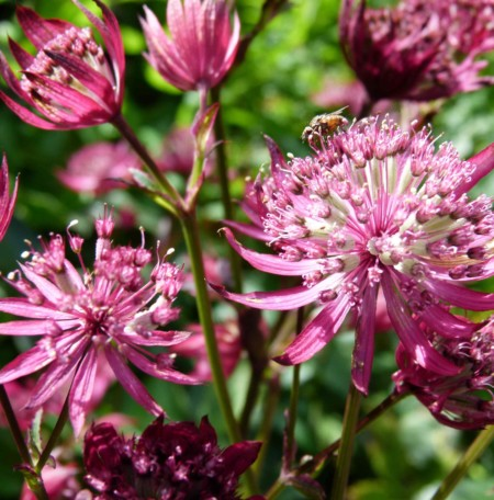 Astrantia major 'Moulin Rouge' (grote pot) - zeeuws knoopje