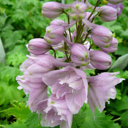Delphinium (MF) 'Pink Shades' (grote pot) - ridderspoor