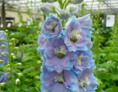 Delphinium (MF) 'Sky Blue'  (grote pot)