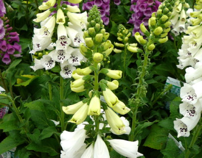 Digitalis purpurea 'Alba' (grote pot)