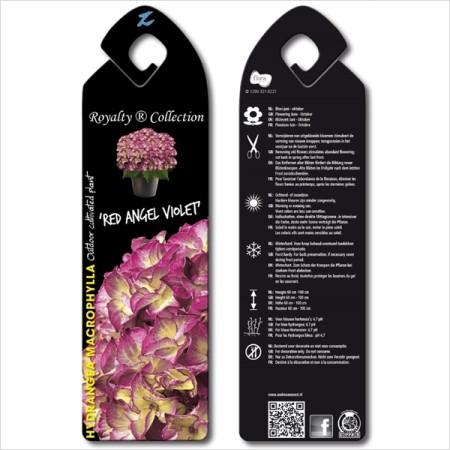 Hydrangea macrophylla 'Red Angel Violet' - hortensia