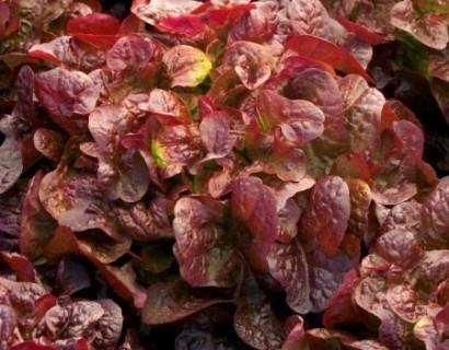Eikenbladsla rood - groene asperge