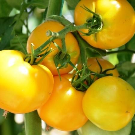 Gele tomaat -