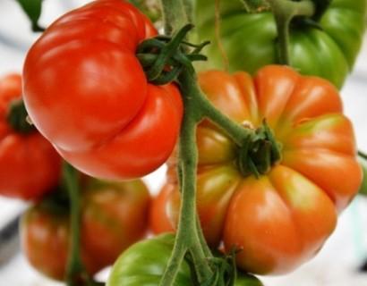 Marmande tomaat -