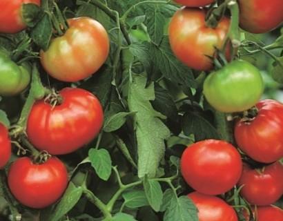Ronde tomaat 'Pyros' pot 1.3 liter - zwarte bes