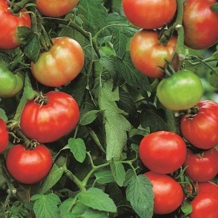 Ronde tomaat 'Pyros' pot 1.3 liter