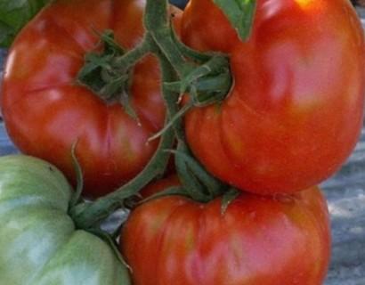 Saint-Pierre tomaat -