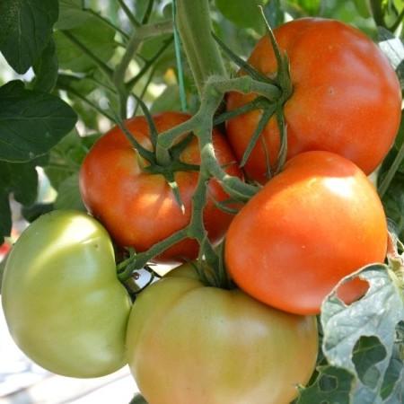 Tomaat hybride (vleestomaat) -