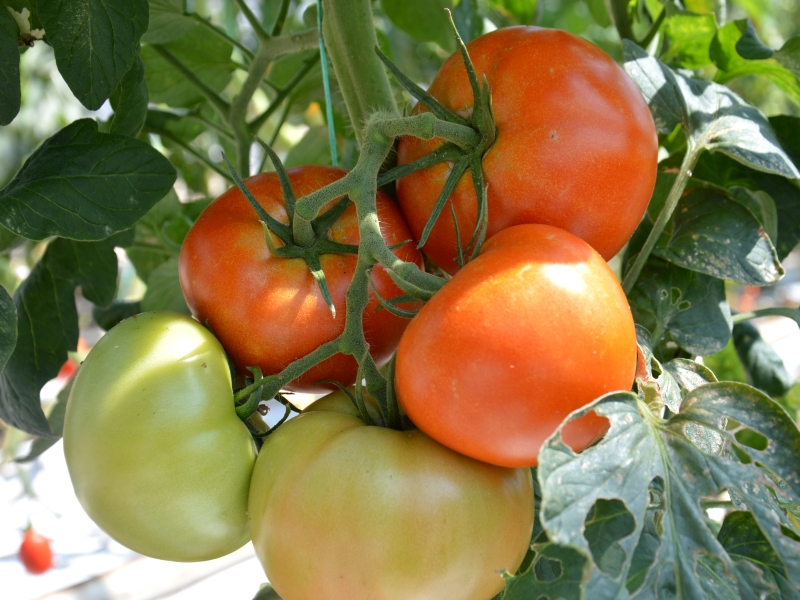 Tomaat hybride (vleestomaat)