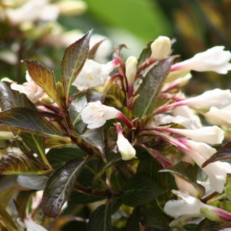 Weigela 'Black and White' - weigela