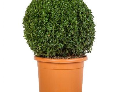 Buxus sempervirens bol 45 cm - palm