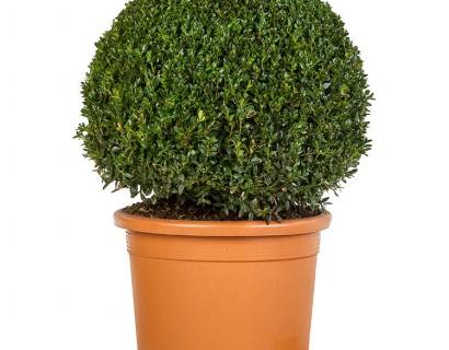 Buxus sempervirens bol 50 cm PROMO - palm