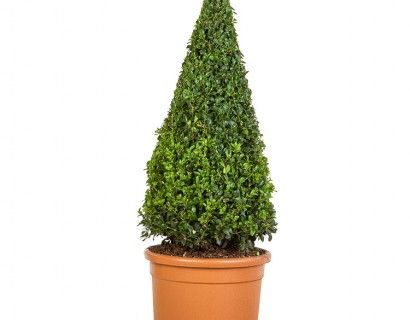 Buxus sempervirens kegel 70 cm - palm