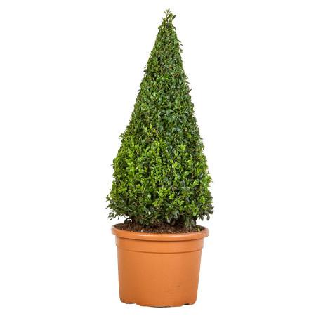 Buxus sempervirens kegel 70 cm