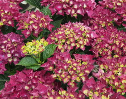 Hydrangea macrophylla 'Royal Red Violet' - hortensia