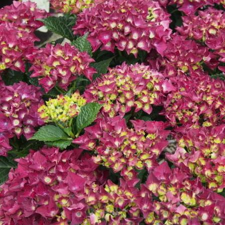 Hydrangea macrophylla 'Royal Red Violet' - hortensia