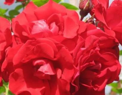Rosa 'Santana' klim - Grootbloemige klimroos