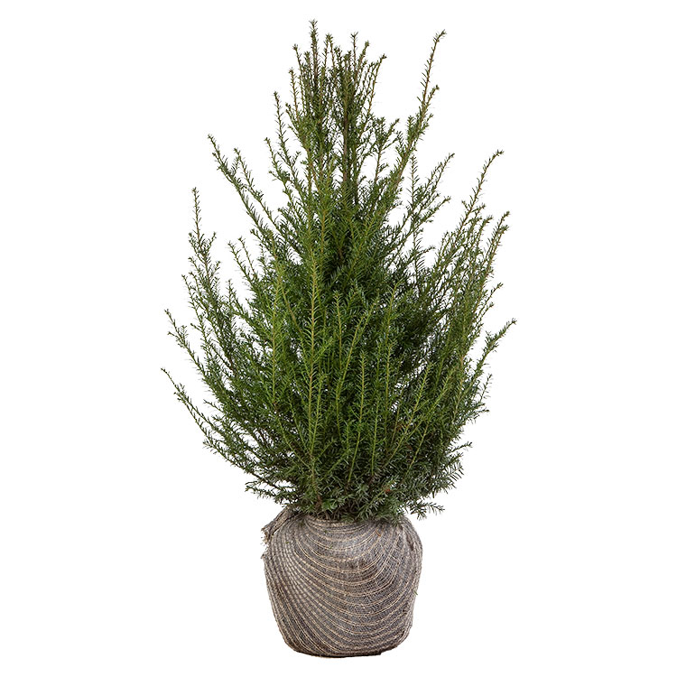 taxus-baccata-80-100
