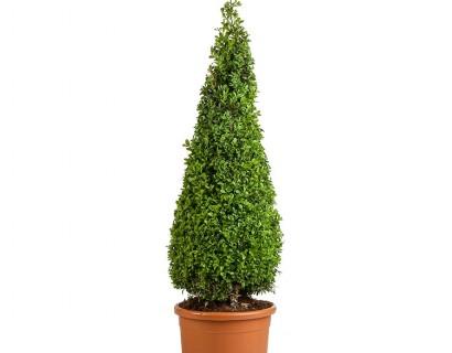 Buxus sempervirens kegel 110 cm