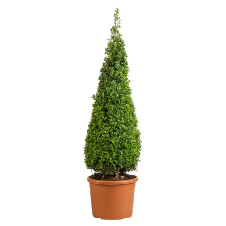Buxus sempervirens kegel 100 cm