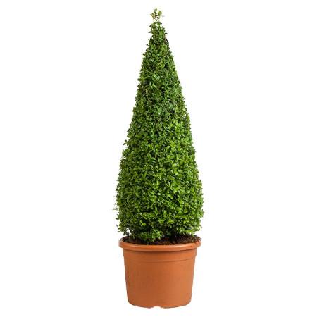 Buxus sempervirens kegel 90 cm