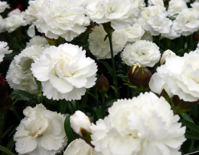Dianthus 'Cosmos White' (grote pot) - anjer