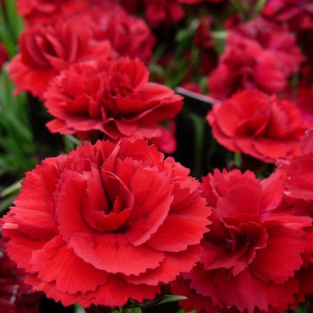 Dianthus sunflor 'Dynamite' (grote pot) - anjer