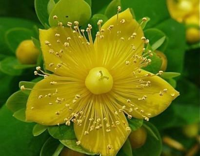 Hypericum inodorum 'Magical Sunshine' - Hertshooi