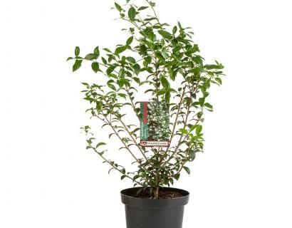 Osmanthus burkwoodii pot 3 liter - schijnhulst